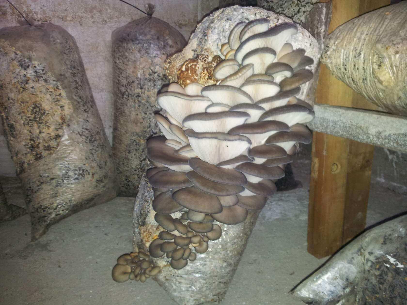 Домашняя грибница «Грибной сезон» Урожай