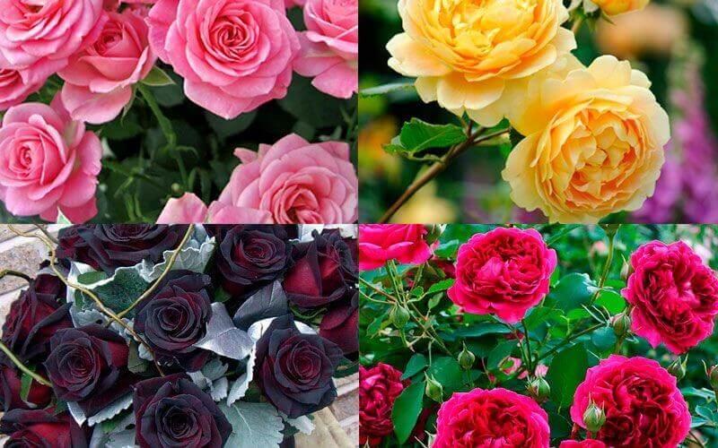 изображение роза на подоконнике