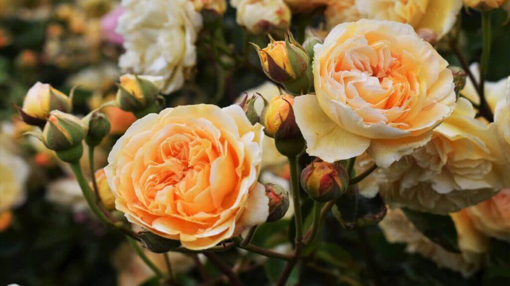 купить домашнюю розу цена